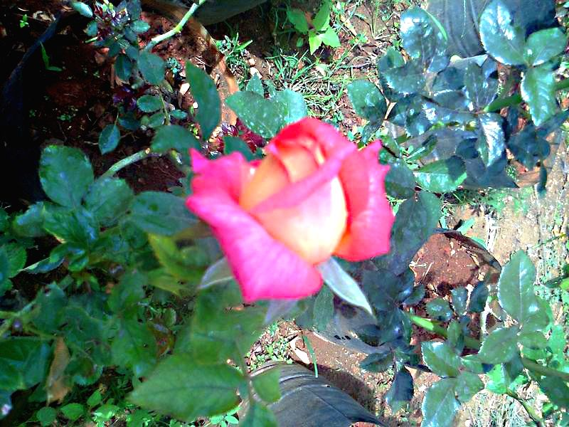 The bud of a new, specially-developed variety of rose - dedicated to Prime Minister Narendra Modi, will bloom at the Dombivli Rose Society in Mumbai on the evening of Aug 13, 2014. The rose ... - Narendra Modi and Indira Gandhi
