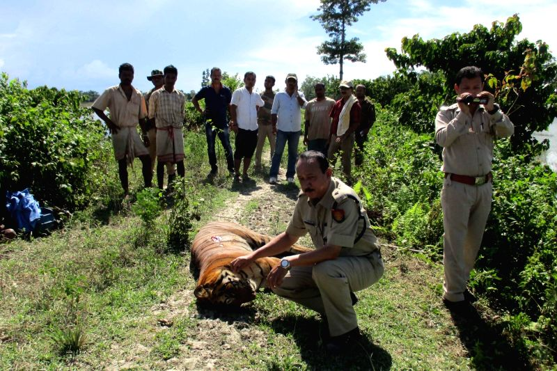 The carcass of an adult male Royal Bengal tiger that was found in flood hit Kaziranga National Park (KNP) in Golaghat district of Assam on Aug 3, 2016.