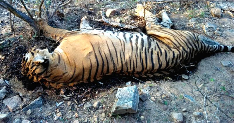 The carcass of 'Prince' - the most photographed tiger that was found on 2nd April, 2017 in Bandipur National Park of Karnataka.