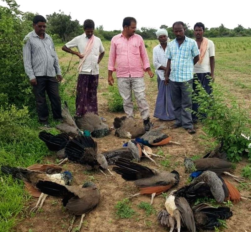 The carcasses of peacocks suspected of consuming crops sprayed with pesticides, found by farmers at a field in Telangana's Mahbubnagar on July 26, 2018.