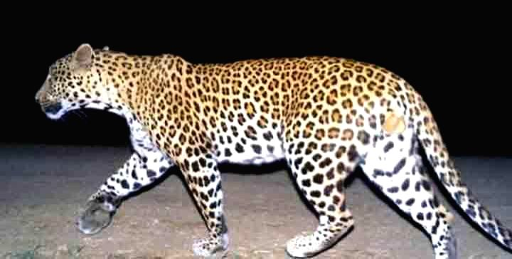 The leopard that had been hiding inside the premises of International Crops Research Institute for the Semi-Arid Tropics near Hyderabad was caught on Aug 24, 2014. The feline was released in the ...