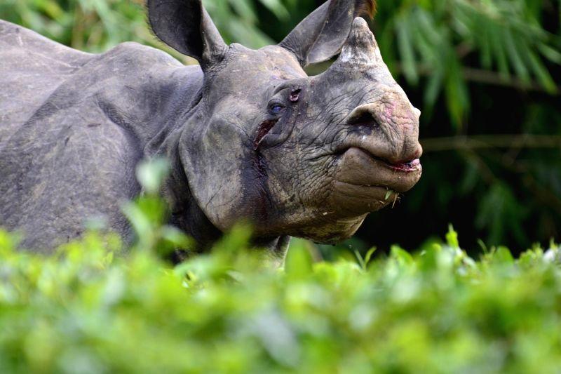The rhino that strayed from flooded Kaziranga National Park and entered Jagdamba tea estate of Assa, on July 29, 2016.