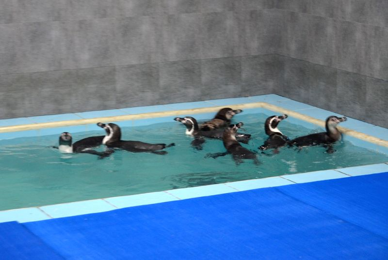 The three male, three female and two female baby Humboldt penguins reach the Byculla zoo from Seoul, South Korea for around Rs.2 crore as part of modernisation plan; in Mumbai on July 26, ...