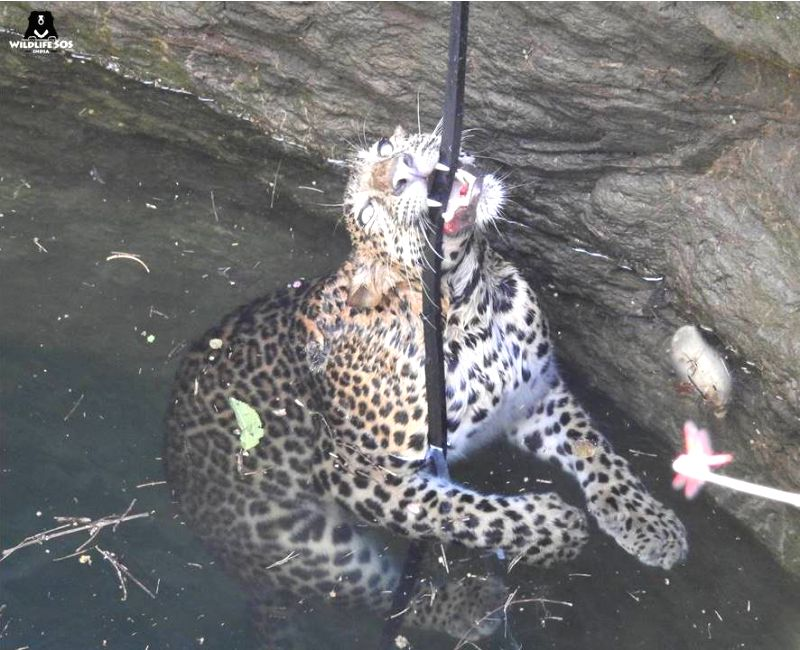 The trapped pregnant leopard while being rescued (Courtesy: Wildlife SOS)