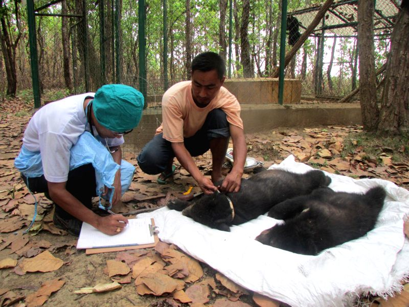 Three orphaned Asiatic black bear cubs being fitted with radio-collars ahead of releasing them in wild by the officials of International Fund for Animal Welfare (IFAW) and Wildlife Trust of India ...