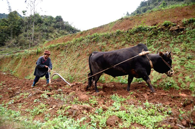 A farmer uses cattle to plough a field on a spring day in Kangmiao Village, Tiandeng County of south China's Guangxi Zhuang Autonomous Region, March 12, 2015.   ...