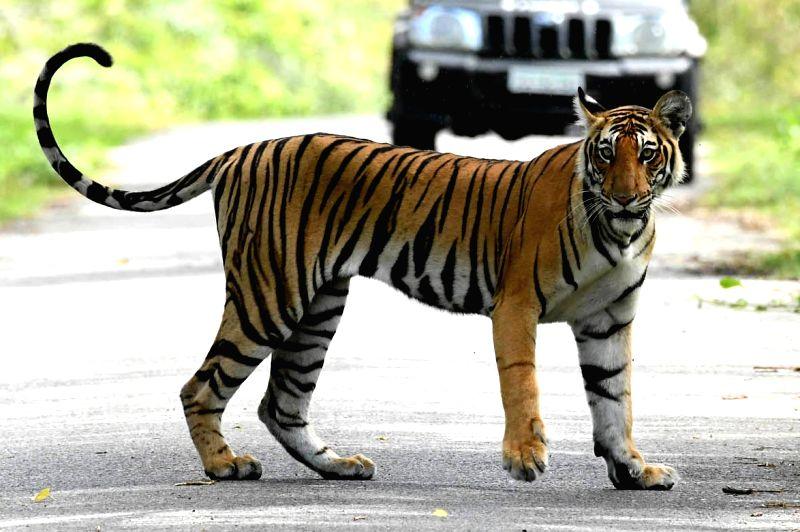 Tiger. (File Photo: IANS)
