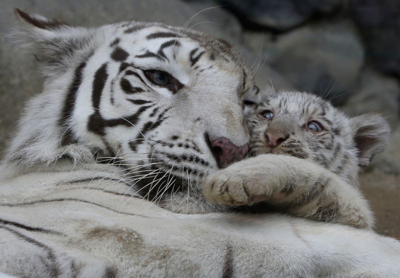 A white tiger cub and his moter play at Tobu Zoo in Saitama, Japan, April 15, 2015.
