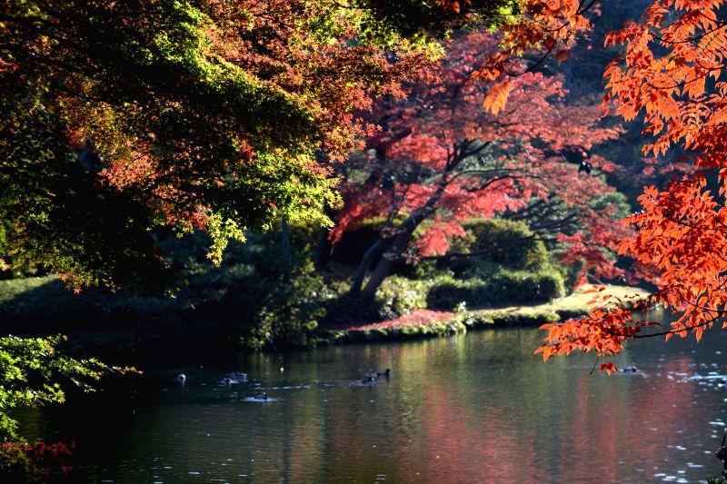 Tokyo (Japan): Ducks swim in the lake at a park in late autumn in Tokyo, Japan, Nov. 27, 2014.