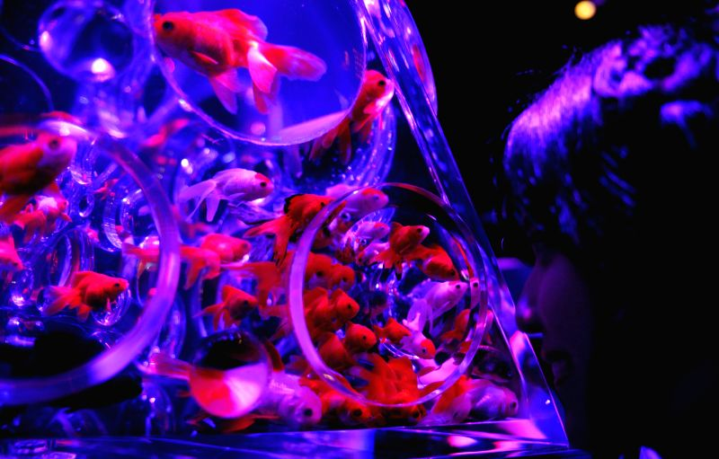 """Goldfishes swim in a water tank during a press preview of the exhibition """"Eco Edo Nihombashi Art Aquarium 2014"""" in Tokyo, Japan, July 10, 2014. The ..."""