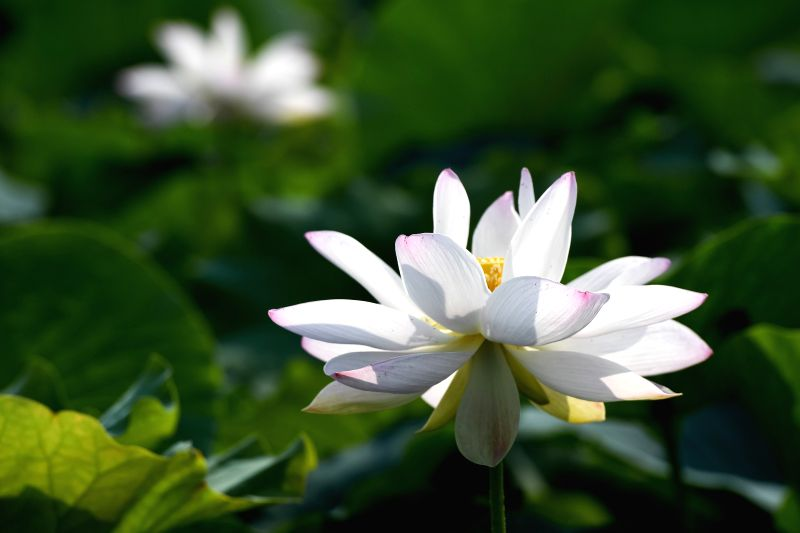 TONGLING, June 14, 2018 - Photo taken on June 14, 2018 shows lotus flowers at Xihu Village in Tongling City, east China's Anhui Province.