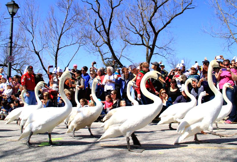 Swans make their way toward the Avon River during the 2015 swan parade in Stratford, Ontario, Canada, April 12, 2015. The annual traditional parade took place on ...