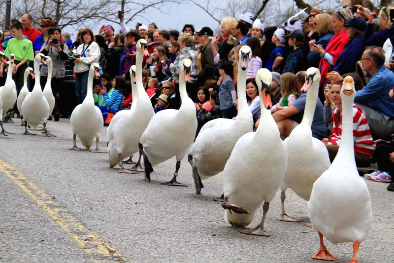 TORONTO, April 14 A bevy of swans take part in a parade in Stratford, Ontario, Canada, April 13, 2014. As a traditional event, the parade celebrates the coming of spring every year. ...