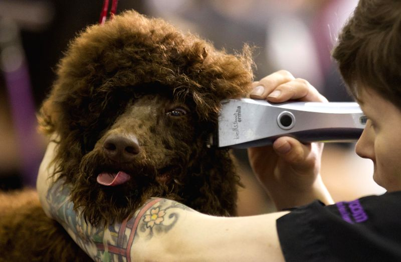 A dog is groomed by a stylist during the Grooming Competition of the 2014 All About Pets Show in Tonronto, Canada, April 18, 2014.