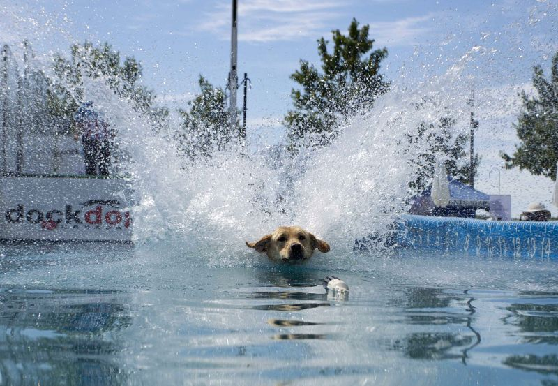 A dog dives in a pool during the 2014 DockDogs World Qualifying Championships of the 2014 Waterfront Festival in Toronto, Canada, June 20, 2014. The three-day ...
