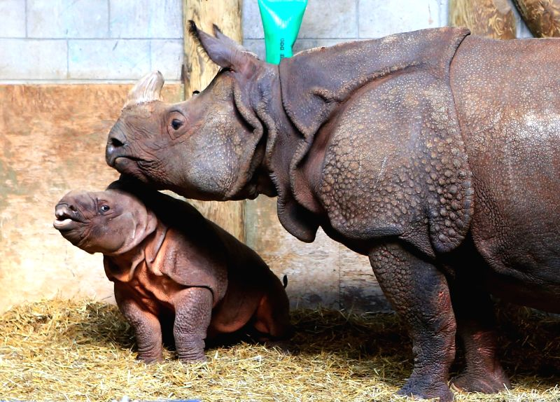 TORONTO, May 9, 2016 - A two months old male Indian rhino calf (L) stays with his mother Ashakiran during Mother's Day at the Toronto Zoo in Toronto, Canada, May 8, 2016.