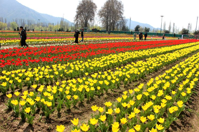 Tulips at Indira Gandhi  Memorial Tulip Garden - Asia's Largest tulip garden spread over an area of about 12 hectares on the banks of the Dal lake at Cheshma Shahi in Srinagar on April 14, 2014.