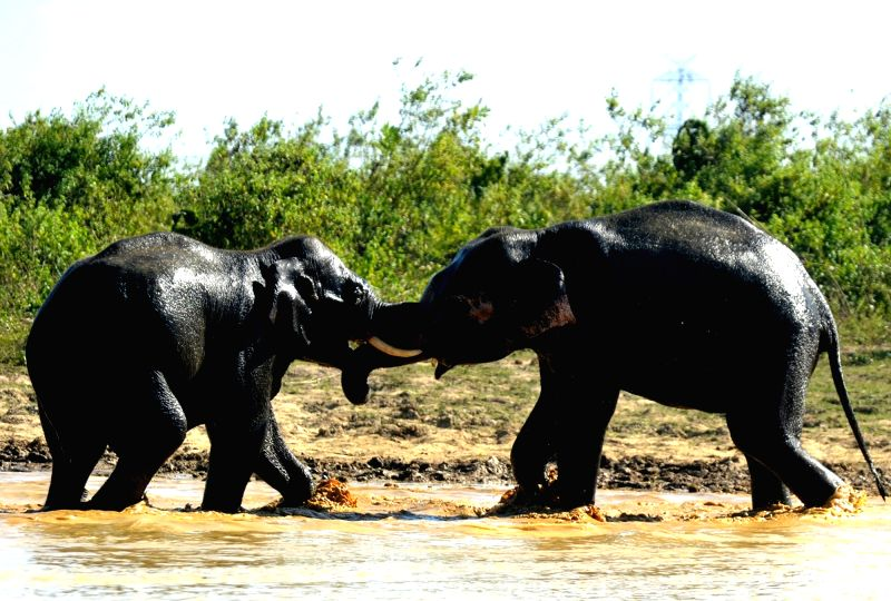 Two wild elephants engaged in a fight with each at Balipara Ghogra near Tezpur, Assam on Nov 29, 2015.