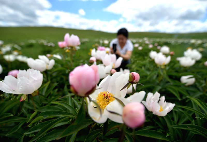 A woman takes pictures of flowers on a prairie in Ulgai, north China's Inner Mongolia Autonomous Region, June 20, 2014.