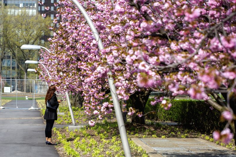 UNITED NATIONS, April 20, 2017 - A woman enjoys cherry blossoms at the United Nations Headquarters in New York, April 18, 2017.