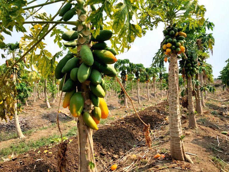 Upset over economic loss, farmer destroys papaya,banana crops.