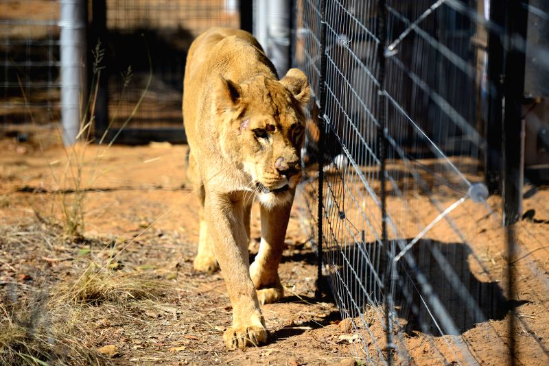 VAALWATER, May 20, 2016 - A rescued lion named Nala moves out of its cage to new enclosure at the Emoya Big Cat Sanctuary, Vaalwater, South Africa's northern Limpopo province, May 19, 2016. Three ...