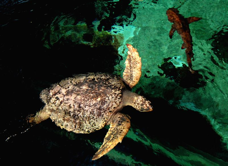 Turtles and sharks are seen at Vancouver Aquarium in Vancouver, Canada, Aug. 25, 2014. Vancouver Aquarium, Canada's pre-eminent marine science centre, was granted