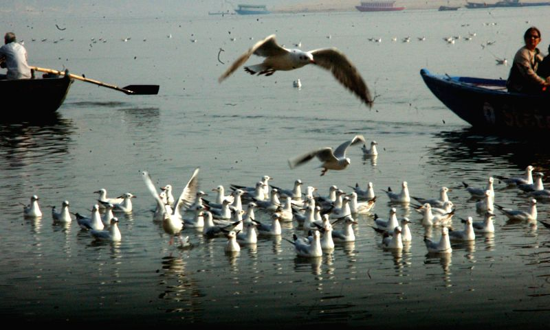 Seagulls on the banks of Ganga river in Varanasi on Dec 4, 2014.