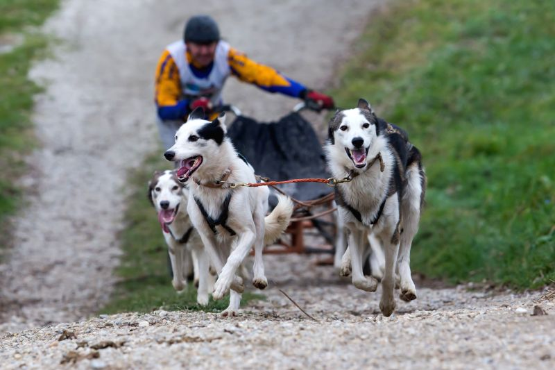 Venek (Hungary ): A musher and his sled dogs compete during the FISTC Cart European Championships in Venek, Hungary on Nov. 22, 2014.