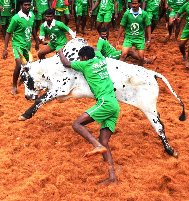 Jallikattu Pongal celebrations.