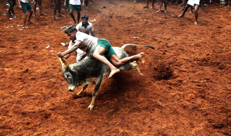 Jallikattu bull taming festival