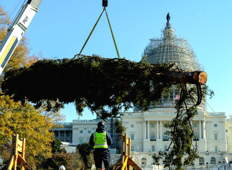 Washington D.C: A worker hoists the tree with the help of a crane at the Capitol Hill in Washington D.C. , on Nov. 21, 2014. The 2014 Capitol Christmas Tree is a white spruce from the Chippewa ...