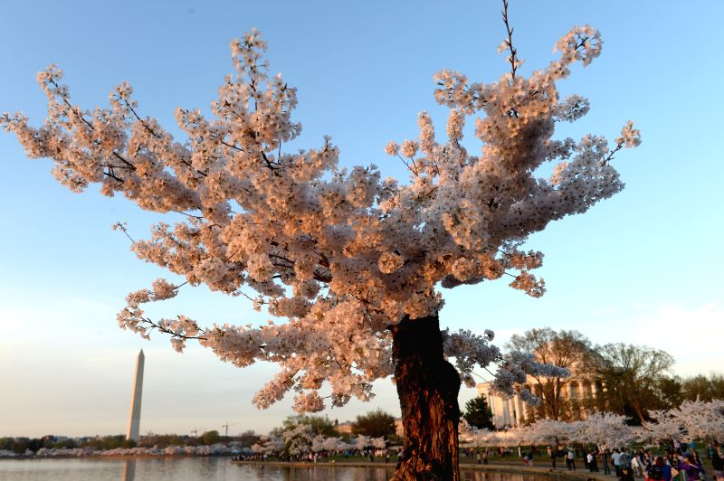 Cherry blossoms are seen around the Tidal Basin in Washington D.C., capital of the United States, April 12, 2015. The cherry blossoms in the U.S. capital ...