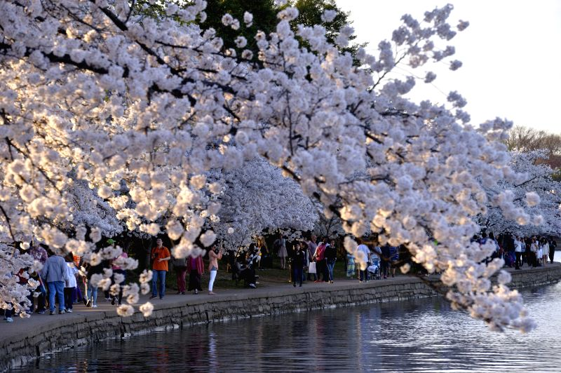 People walk alongside the cherry trees around the Tidal Basin in Washington D.C., capital of the United States, April 12, 2015. The cherry blossoms in the ...