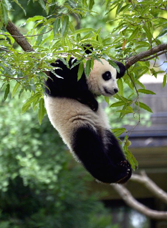 "Panda cub Bao Bao plays during a traditional ""Zhuazhou"" ceremony at her first birthday celebration at the National Zoo in Washington D.C., Aug. ..."