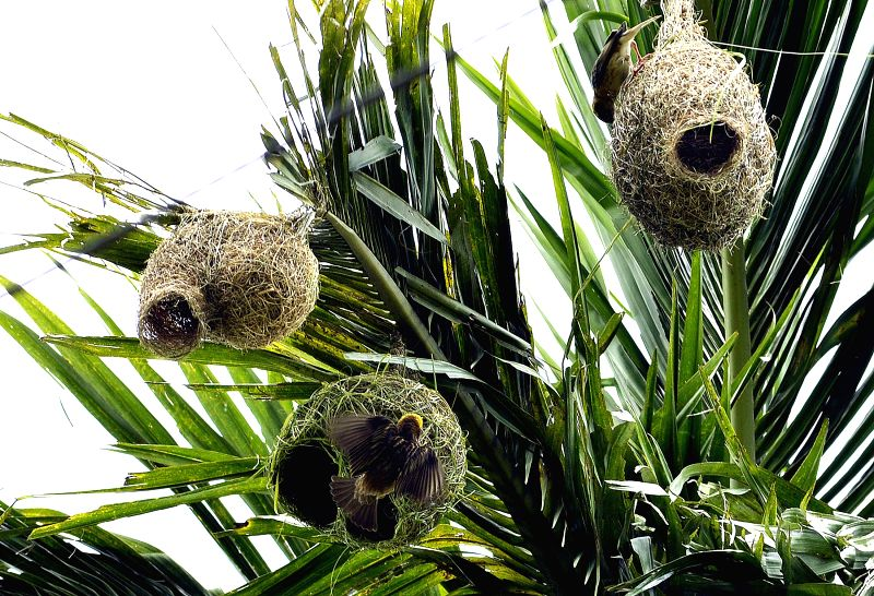 Weaver birds busy making nest in a tree at Raghna village in North Tripura on May 10, 2014.