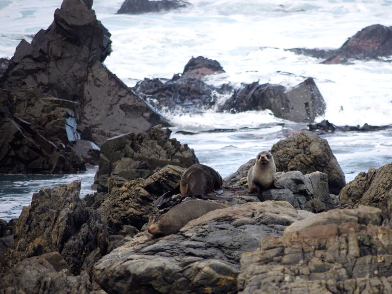 Seals climb on the beach of Red Rock Reserve in Wellington, New Zealand, July 26, 2014.