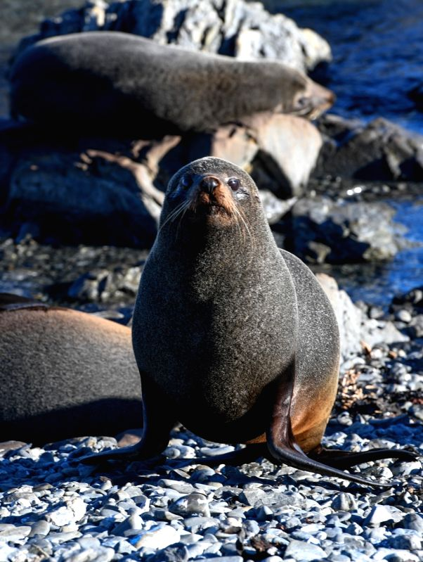 WELLINGTON, July 27, 2018 - Photo taken on July 26, 2018 shows New Zealand fur seals at Sinclair Seal Colony, south of Wellington, New Zealand. New Zealand fur seals habitat at Sinclair Seal Colony. ...