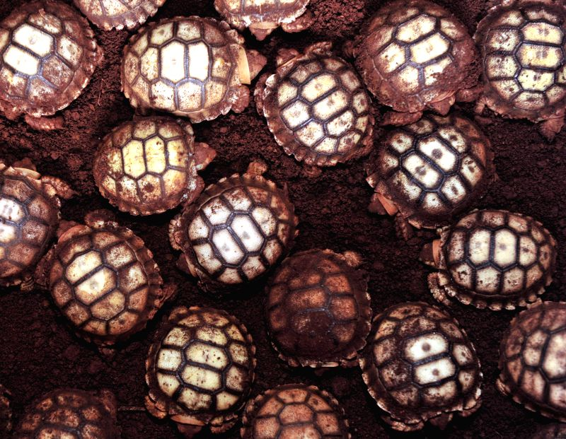 Sulcata tortoise (Centrochelys sulcata) hatchlings are seen at a cultivation center in Wenchang, south China's Hainan Province, July 11, 2014. (140712)...
