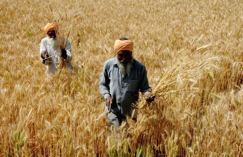 Wheat. (File Photo: IANS)(Image Source: IANS News)