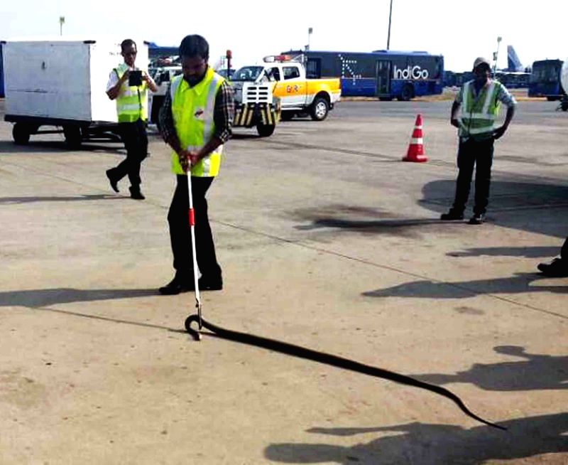 Wildlife group rescues a seven-feet-long snake which managed to slither its way past the high security compound walls of the Rajiv Gandhi International Airport at Shamshabad in Hyderabad ...