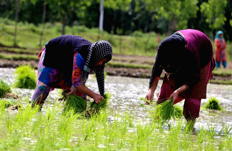 Women transplant rice seedlings in a paddy field in Rafiabad area of Baramulla on May 26, 2016.