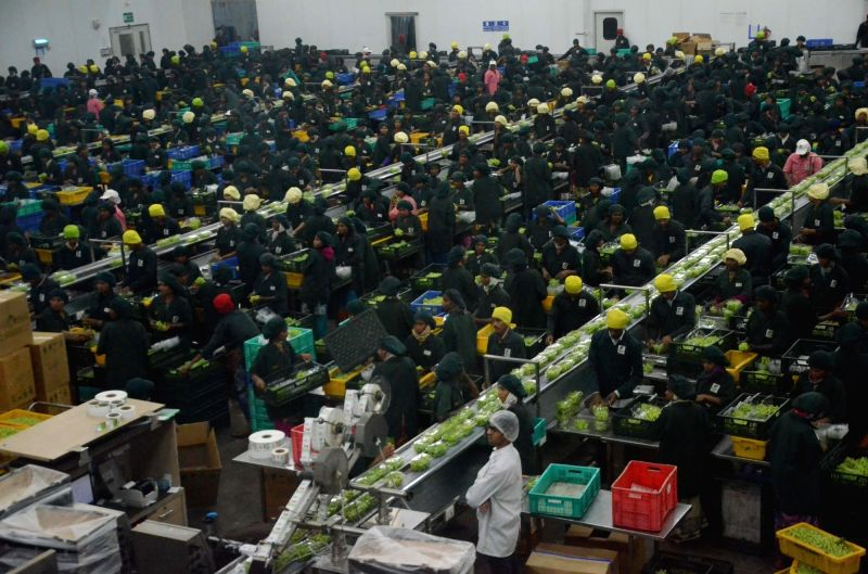 Workers busy packaging grapes at a pack house of Sahyadri Farms in Nasik on Feb 10, 2018.