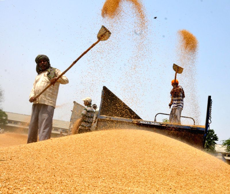 Workers unload wheat from a truck at a grain distribution centre located in the outskirts of Amritsar on May 4, 2014.