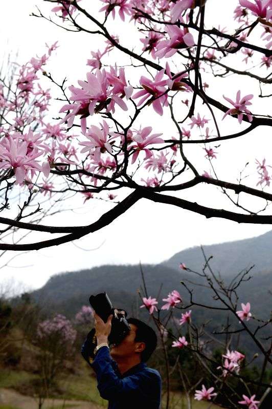 A tourist takes photos of wild magnolia wufengensis in Wufeng Tujia Autonomous County, central China's Hubei Province, March 31, 2015. Blooming flowers in Wufeng ...