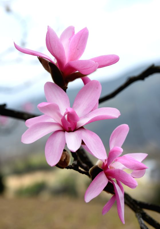 Wild magnolia wufengensis are in full bloom in Wufeng Tujia Autonomous County, central China's Hubei Province, March 31, 2015.