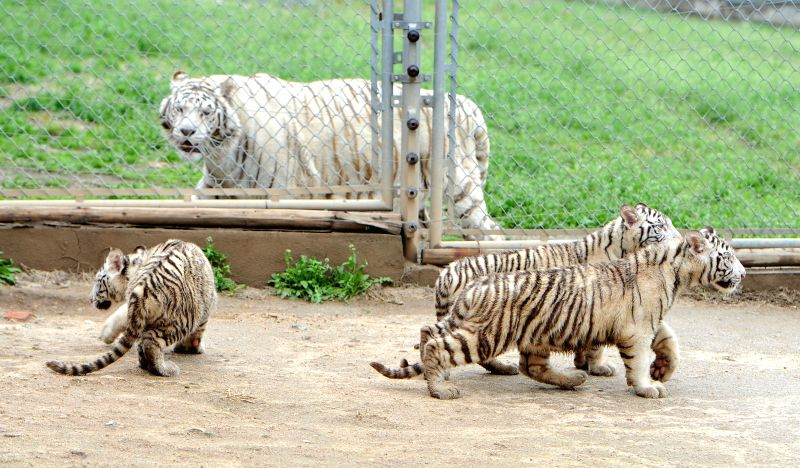 XI'Photo taken on April 2, 2015 shows the white tiger triplets at Qingling Wildlife Park in Xi'an, capital of northwest China's Shaanxi Province. Given birth by a tiger ...