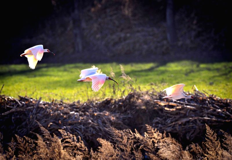 XI'Crested ibis, an endangered bird species once believed to be extinct in China, fly in the forest at Tongchuan City, northwest China's Shaanxi Province, Dec. 16, 2014.