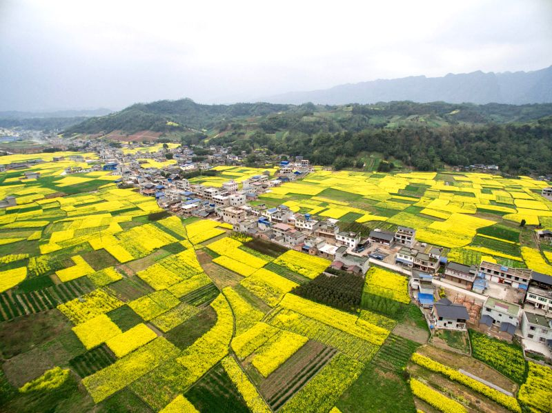 Cole flowers are in full bloom in Anjing Township of Xingjing County, southwest China's Sichuan Province, March 21, 2015.