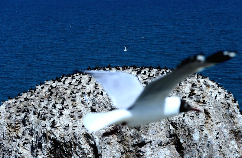 A brown-headed gull flies over the Cormorant Island of Qinghai Lake in northwest China's Qinghai Province, April 29, 2014. The Qinghai Lake, China's largest inland ..